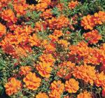 AAS Winner Cosmos 'Cosmic Orange'Robert E. Lyons ©