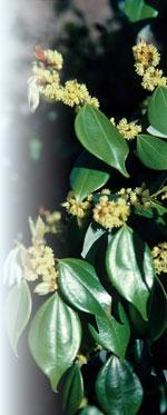 Lindera strychnifolia JC Raulston ©