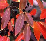 Lindera salicifolia Bryce Lane ©