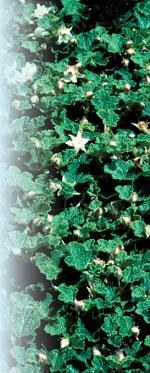 'Emerald Carpet' Robert E. Lyons©