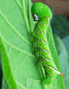 A healthy tobacco hornworm in Rocky Mount, NC. Note red horn, which distinguishes this caterpillar from tomato hornworms. Photo: Demetri Tsiolkas.