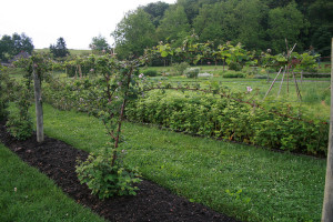 Biltmore, Blackberries, Edible, Lucy Bradley