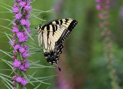 Tiger swallowtail on blazing star