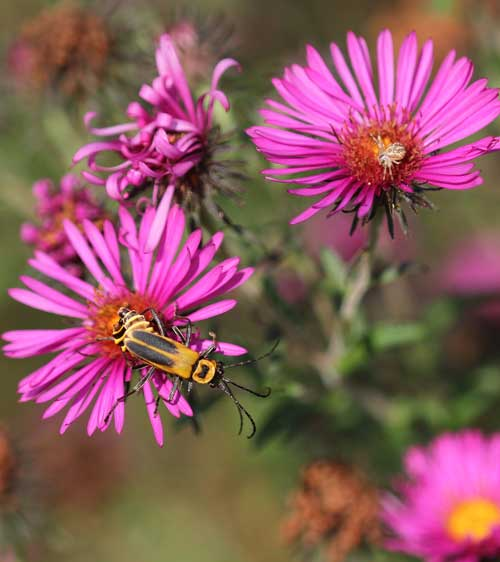 Soldier beetles mating on 'September Ruby' aster
