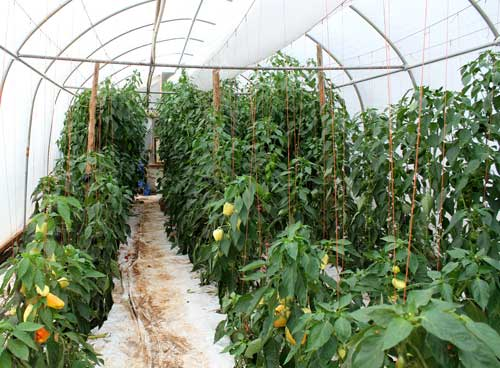 Pepper crop at Screech Owl Greenhouses