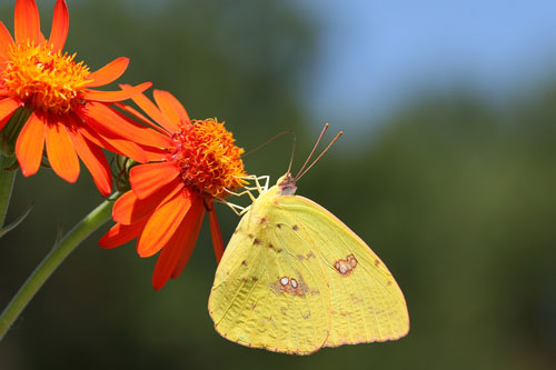Populations of most North Carolina butterfly species were down this year, including the giant cloudless sulphur