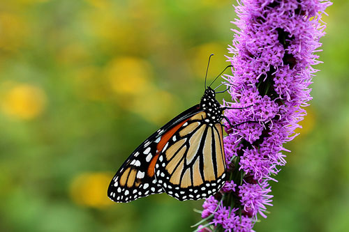 Monarch on blazing star; unlike the eastern tiger swallowtail, monarch populations are way down this year