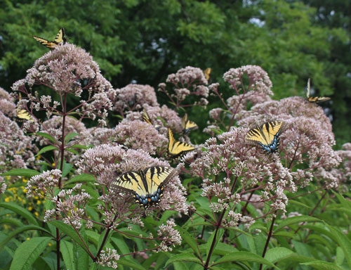 Tiger swallowtails on joe-pye weed