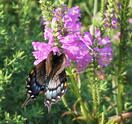 Eastern tiger swallowtail (black form female) on obedient plant