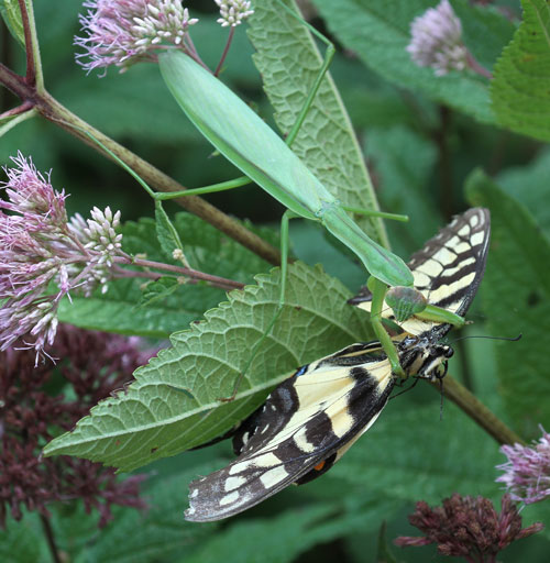Praying mantis feeding on tiger swallowtail on joe-pye weed