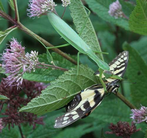 Praying mantis feeds on tiger swallowtail on joe-pye weed