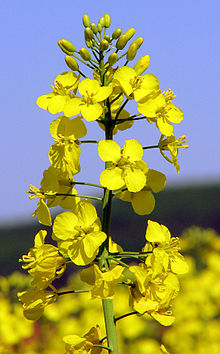 Rapeseed bears golden yellow blossoms in spring.