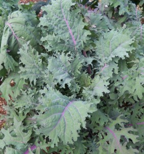 'Red Russian' Kale, an heirloom variety.