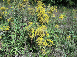 Goldenrod_in_BloomBuncombeCountyJamesWade