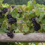 Noble cultivar in clusters on the vine