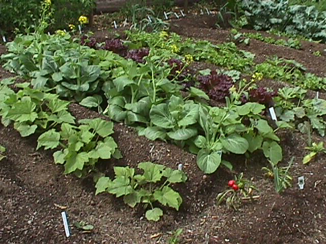 Rows of vegetable in the garden
