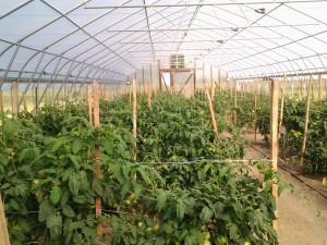 Tomatoes in Hoop House