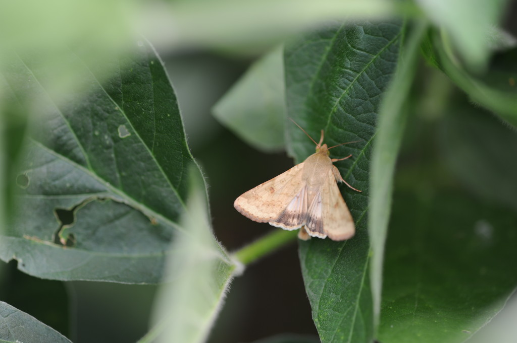 Adult corn earworm moth.