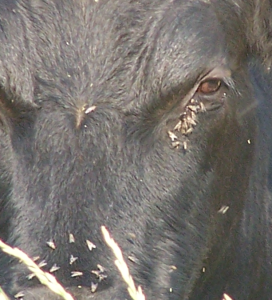 Figure 1. Face flies preferentially feed on the eyes and muzzle of cattle