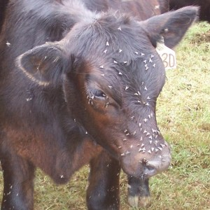 Figure 3. Face fly feeding behaviors cause irritation and annoyance to cattle