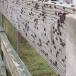 Figure 4. Face flies resting on a fence rail.