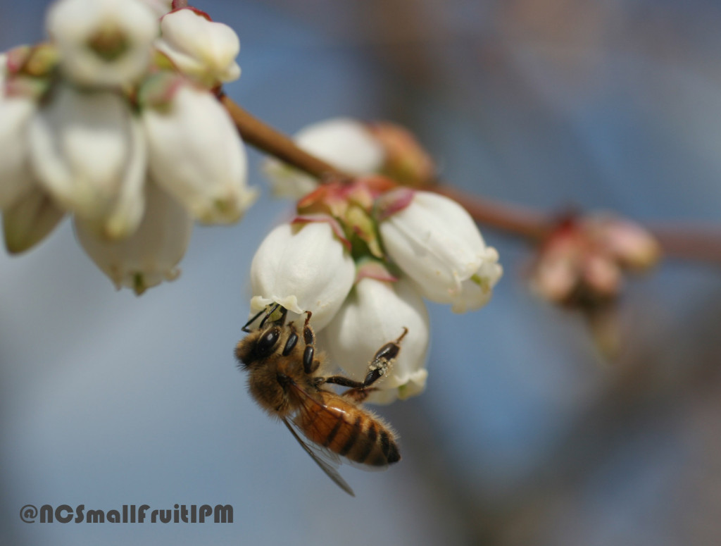 Honey bee visiting a blueberry flower. Photo: Hannah Burrack