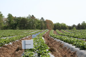 Strawberry field research plots. Photo: Hannah Burrack
