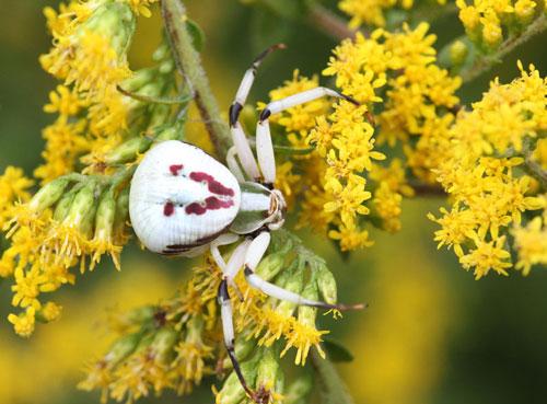 White-banded crab spider on goldenrod