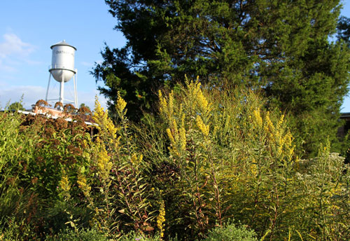 Showy goldenrod surrounded by other perennials is a fall highlight in the garden