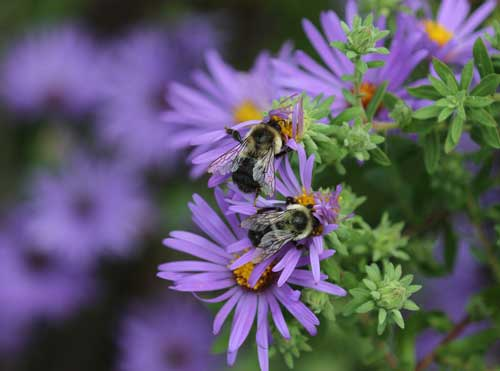 Bumble bees on aromatic aster
