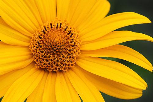 Native oxeye daisy