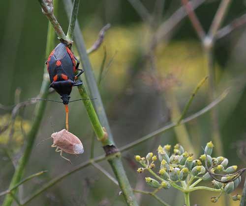 Florida predatory stink bug feeding on a brown stink bug on bronze fennel