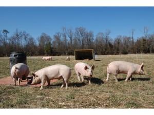 Pigs on pasture.