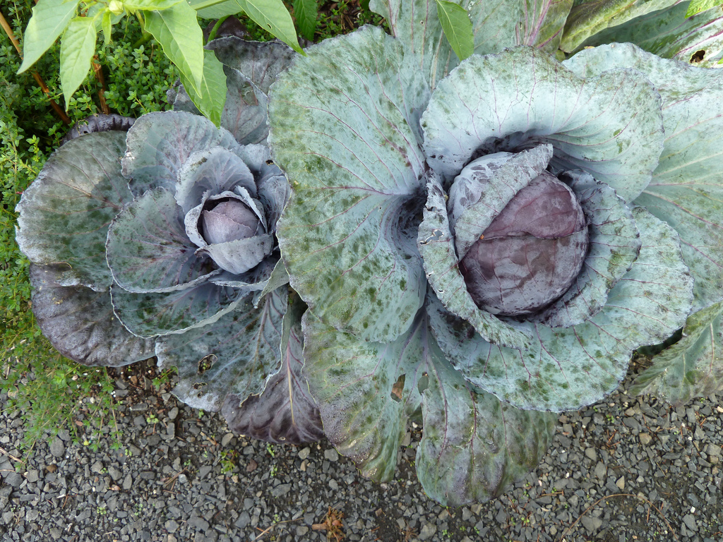 cabbage oct