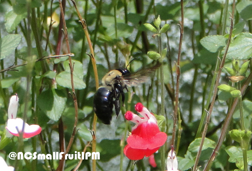 Carpenter bee foraging on salvia. Photo: Hannah Burrack