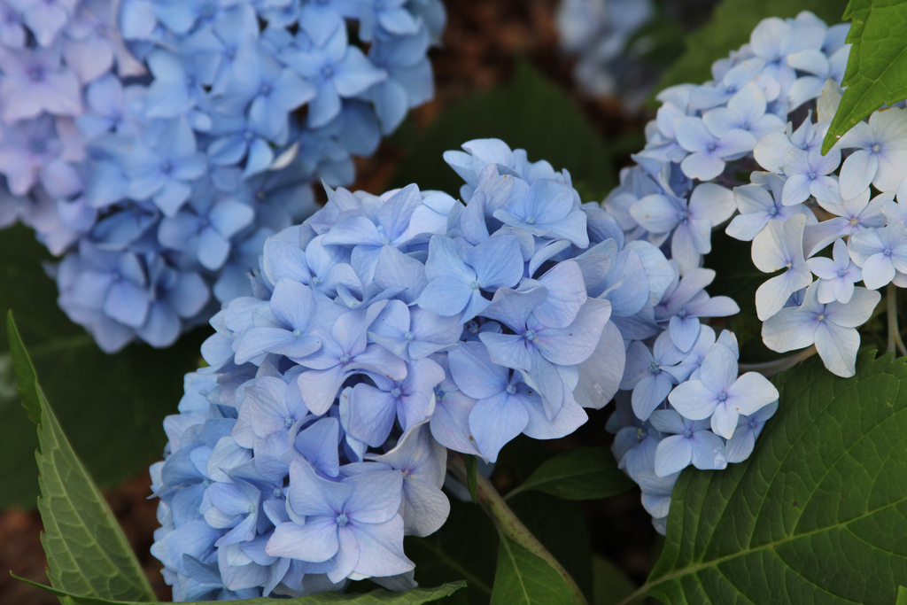 hydrangea shrub nov