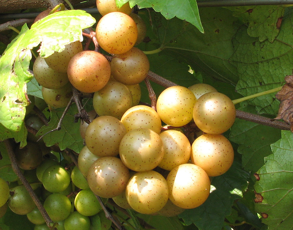 muscadine grapes  jan