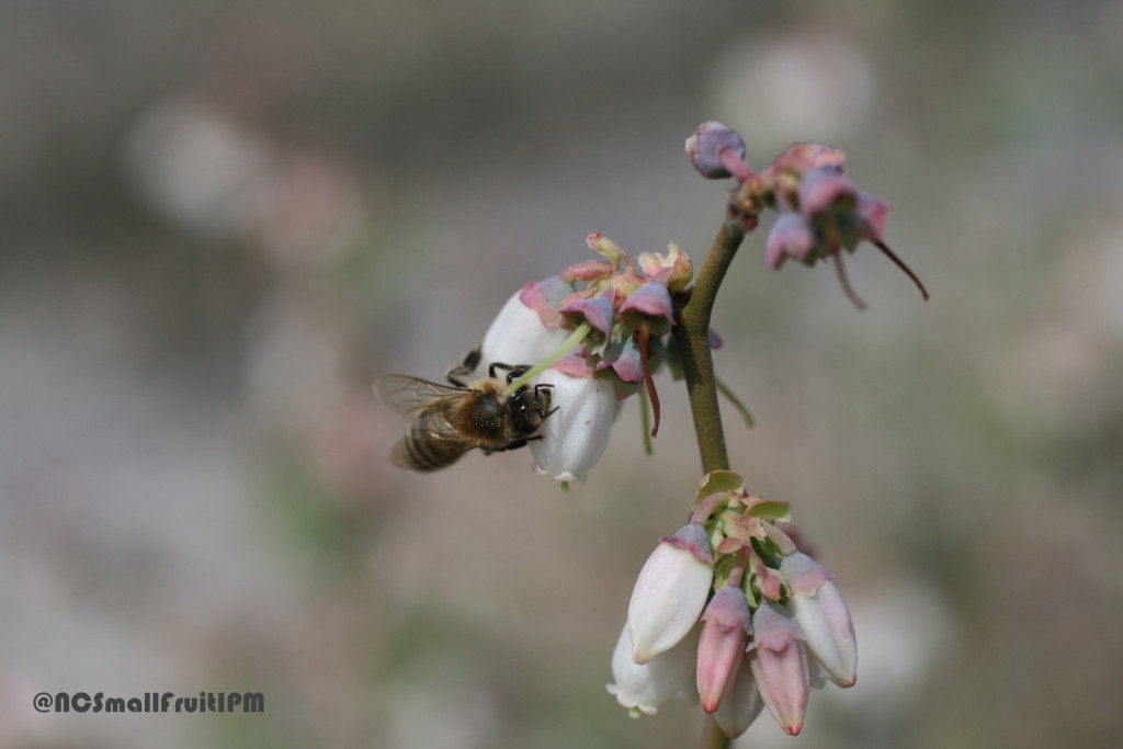 "Honey bee using a carpenter bee feeding slit to ""poach"" or ""rob"" nectar from a blueberry flower. Photo: Hannah Burrack"