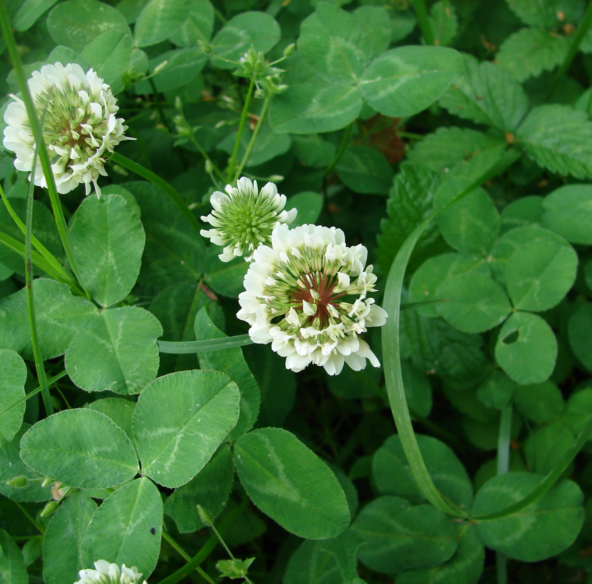 White Clover Seeds | The Plant Good Seed Company |White Clover Plant