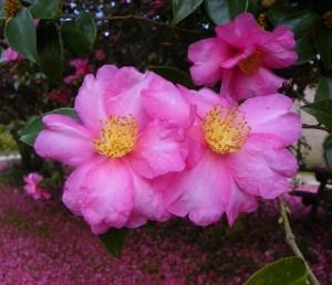 Camellia sasanqua blossom.