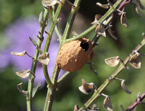 Potter wasp nest on skullcap