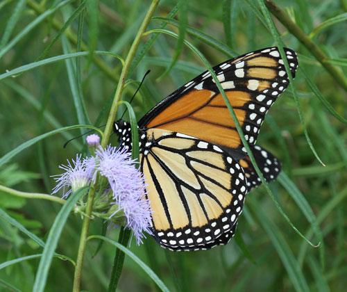 Late season monarch nectaring on palmleaf thoroughwort