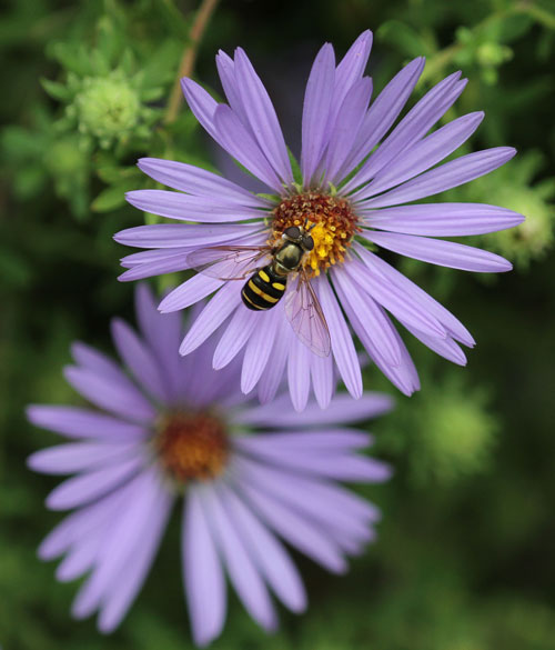 Syrphid fly on aromatic aster
