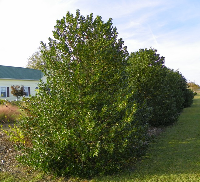 Great Evergreens For Screens And Hedges North Carolina