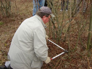 Bill Cline pruning blueberry plant