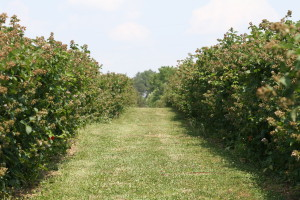 Blackberry field in western North Carolina. Photo: Hannah Burrack