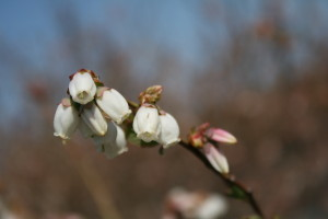 Flowers on a southern highbush blueberry plant. Photo: Hannah Burrack