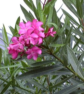 Oleander is highly toxic when eaten and its white, milky sap can injure the skin of sensitive individuals.