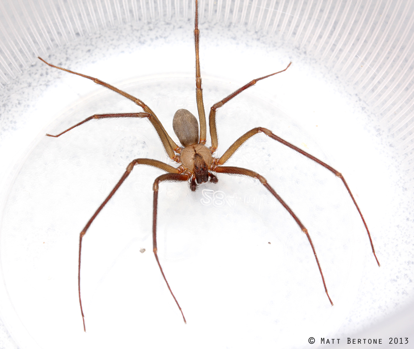 male_recluse