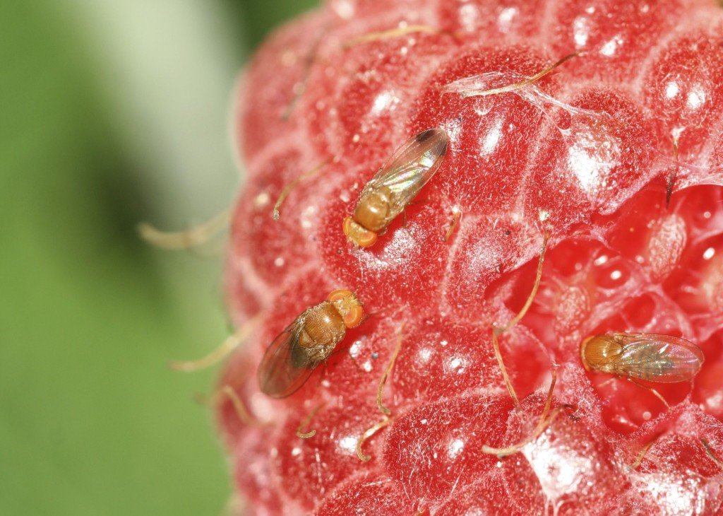 Adult SWD on Raspberry. Image by Jesse Hardin, North Carolina State University